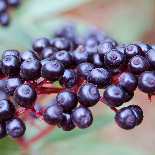 Bunches of berries on a tree.